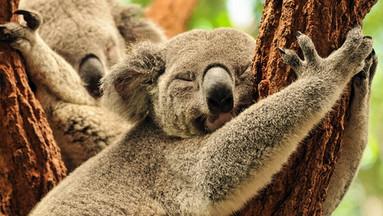 布里斯班龙柏考拉保护园门票(午餐可选,全澳最大考拉保护区)TOP.