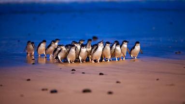 墨尔本菲利普企鹅岛3园套票(企鹅归巢+考拉中心+丘吉尔岛)李小鹏奥莉同款TOP必去